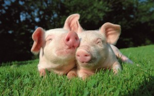 Piggy-pig-pig-on-desktop